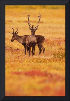 Adult Caribou In The Fall Colours Of The Dempster