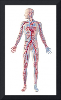 Anatomy of human circulatory system