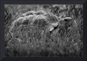 African Spurred Tortoise Black and White
