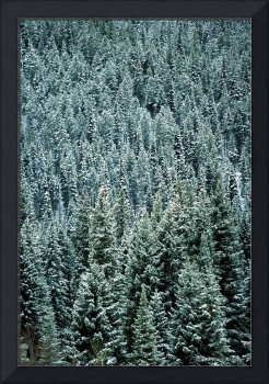 Pine Trees with Frosting