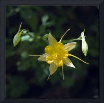 Oak Creek Yellow Columbine Flower