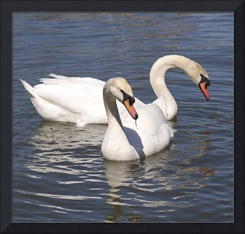 The Coy Swans