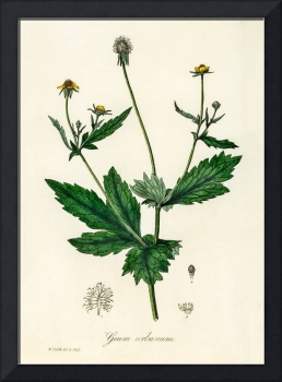 Vintage Botanical Wood avens