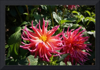 Dahlias Garden Fine Art Prints Gifts Flowers