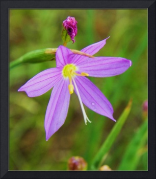 Botanical - Spring Beauty - Outdoors Floral