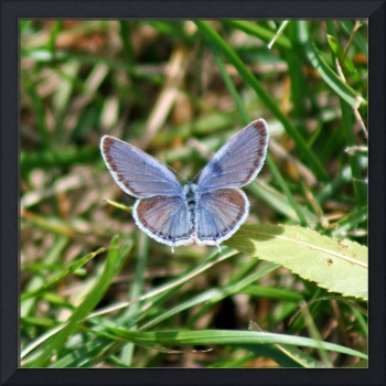 Butterfly Eastern Tailed Blue in Grass