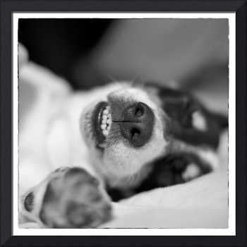 Cute Sleeping Jack Russell Terrier - Black and Whi