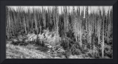 High Elevation Monochrome Forest Large Panorama