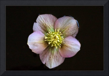 Christmas Rose in Water