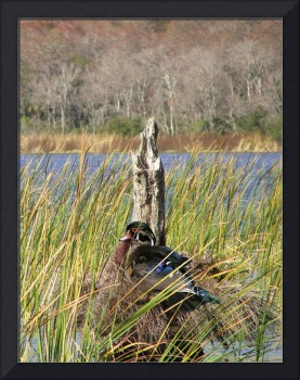 Wood Duck on Lake Tarpon