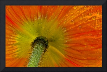 Dew-dropped Poppy