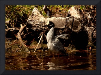 Yellow-Crowned Night Heron 8439
