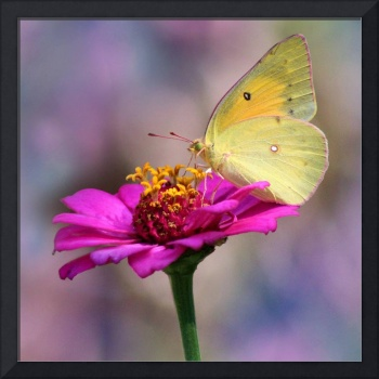 Orange Sulphur Butterfly Pastel Macro