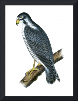 Duck-Hawk, or Peregrine Falcon