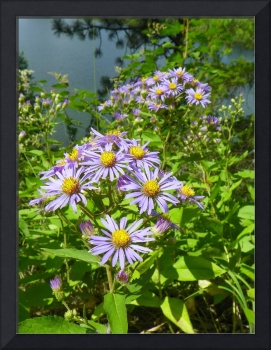 Botanical - Woodland Aster - Outdoors Floral