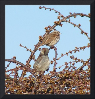 Sparrows among the buds