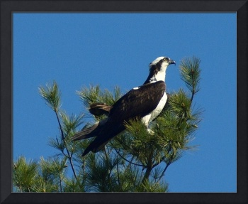 Osprey On Pine Tree Top