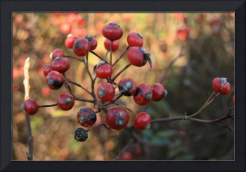 The Sandy Hook beach berries