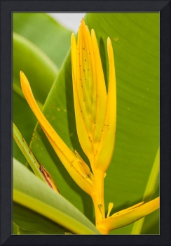 Yellow Heliconia clinophila