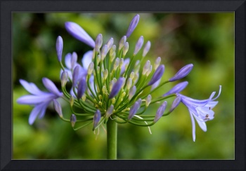 Sweet African Lily