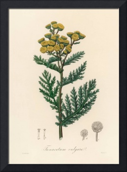 Vintage Botanical Tansy
