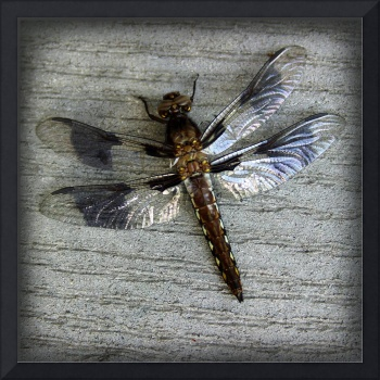 Female Whitetailed Skimmer Dragonfly Square