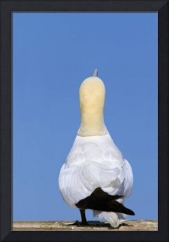 A Single Gannet Searches For The Sky For Her Mate