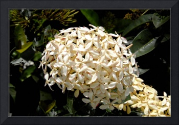 Cayman Islands Plant Life: White Ixora