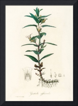 Vintage Botanical Gratiola officinalis