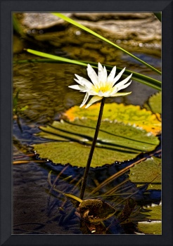 Lilly Pad- Belize