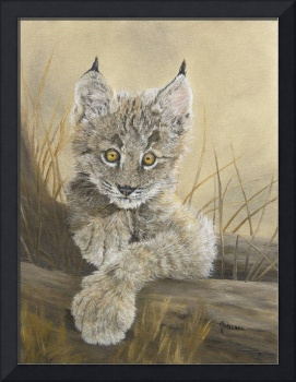 Little Inquisitive One - Canadian Lynx