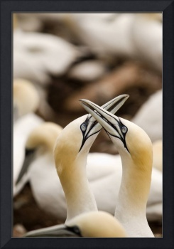 Northern Gannets Rubbing Beaks Perce, Quebec, Can