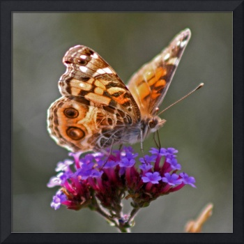 Butterfly American Lady Square format