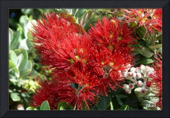 Pōhutukawa in bloom