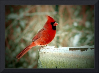 Winter Cardinal - Oil Painting Effect