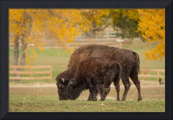 Autumn-Buffaloes-Cow-Calf