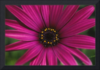 Close-Up Of Bright Purple Daisy With Yellow In Cen