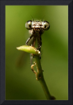 Bette Davis Eyes dragonfly photo
