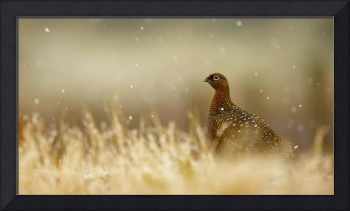 Red Grouse in the Scottish Highlands