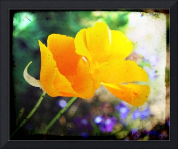 Double the California Poppies
