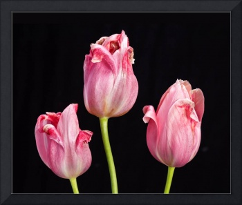 Three Pink Tulips On Black