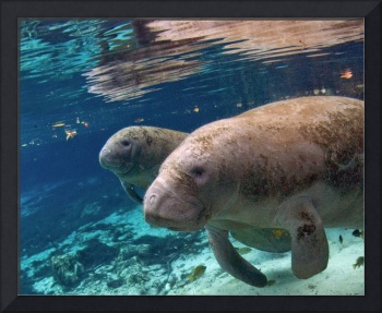 West Indian Manatees, Cow & Calf