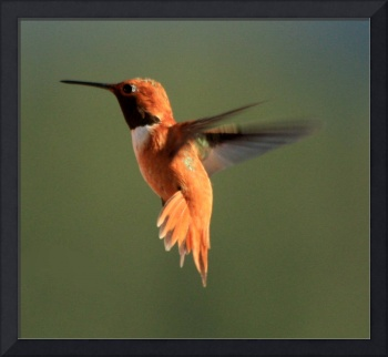 Male Rufous (Rufus)