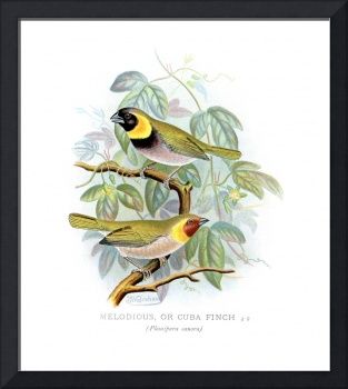 Melodious or Cuba Finch (1899)