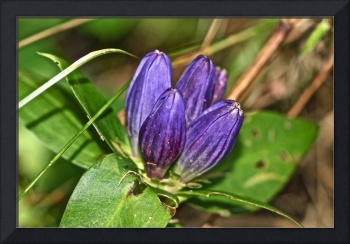 Closed Gentian Wildflower - Purple