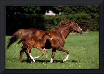 Thoroughbred Mare And Foal Galloping, Ireland