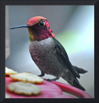MALE ANNA'S HUMMING BIRD ON FEEDER PERCH