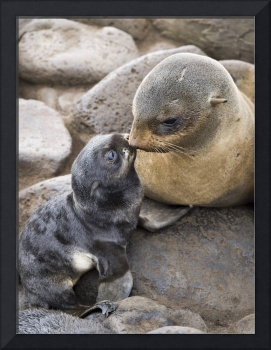 Portrait of a Northern Fur Seal mother and newborn