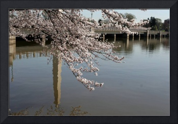 Cherry Blossom Peak Bloom Washington DC no-11
