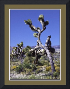 Joshua Trees on the March II